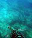 hawksbill turtle picture